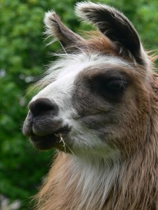 llama, sanctuary