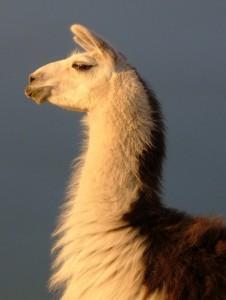 head of the herd, guard llama
