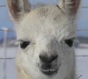 baby lama, llama in winter, llama sanctuary