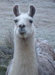 llama in the snow, alpaca rescue, bc, canada