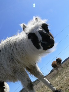 caring for llamas, natural healing for llamas