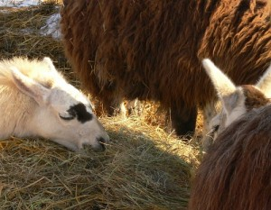 hay for llamas, best way to feed hay