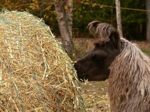 oat hay, llama eating hay, best hay for llamas