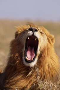lion, how animals eat, carnivores and herbivores different eating methods, how to feed hay