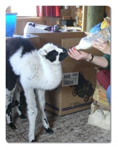 bottle feeding a baby llama