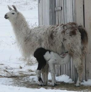 baby llama suckling, feeding baby llama