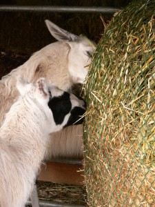 llamas eating oat hay, llamas eating from feeding net