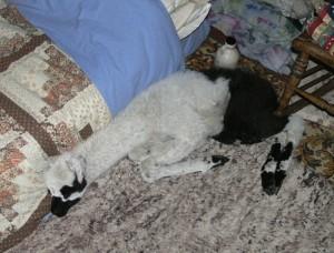 baby llama living indoors, llama in the house, sleeping llama