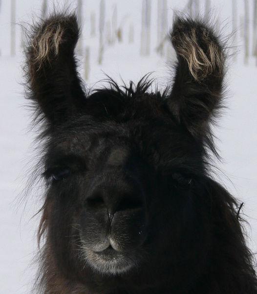 llama eyelashes