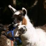 llama with baby, llama love