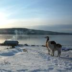 llamas on mountain