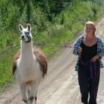 llama on halter, running with llamas