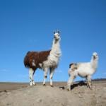 llamas on the hill