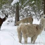 llamas in the snow
