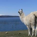 llamas in the wild