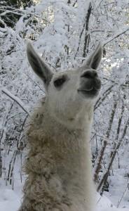 llama photographs, alpaca photographs