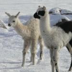 baby llama, cria
