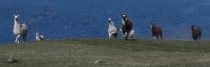 llamas playing, running llama