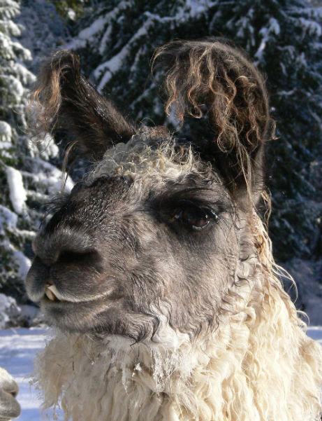 boarding llamas