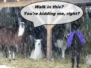 llama shelter, barn, snow storm
