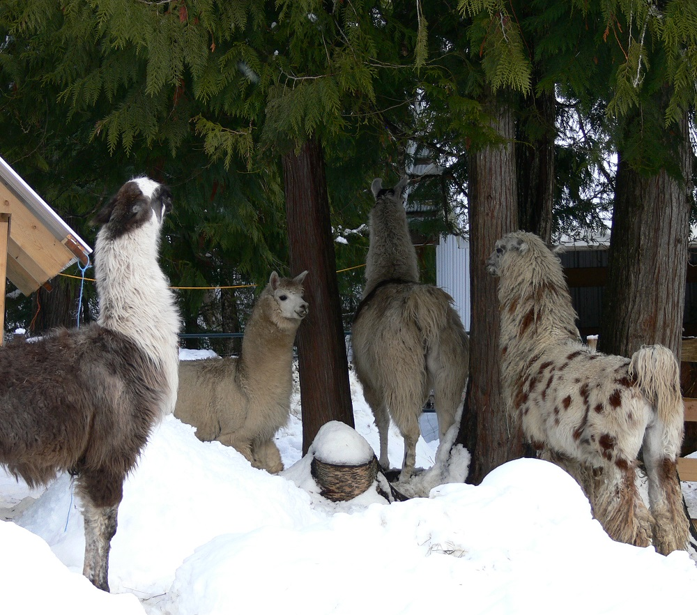 male llamas fighting to be herd sire