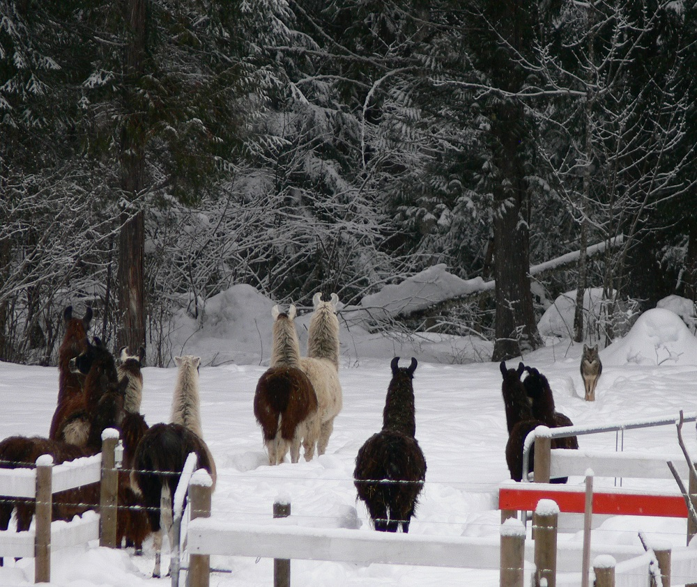 guard llamas approaching coyote