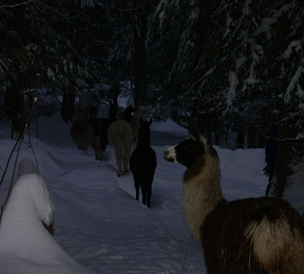 walking with llamas, foraging llama