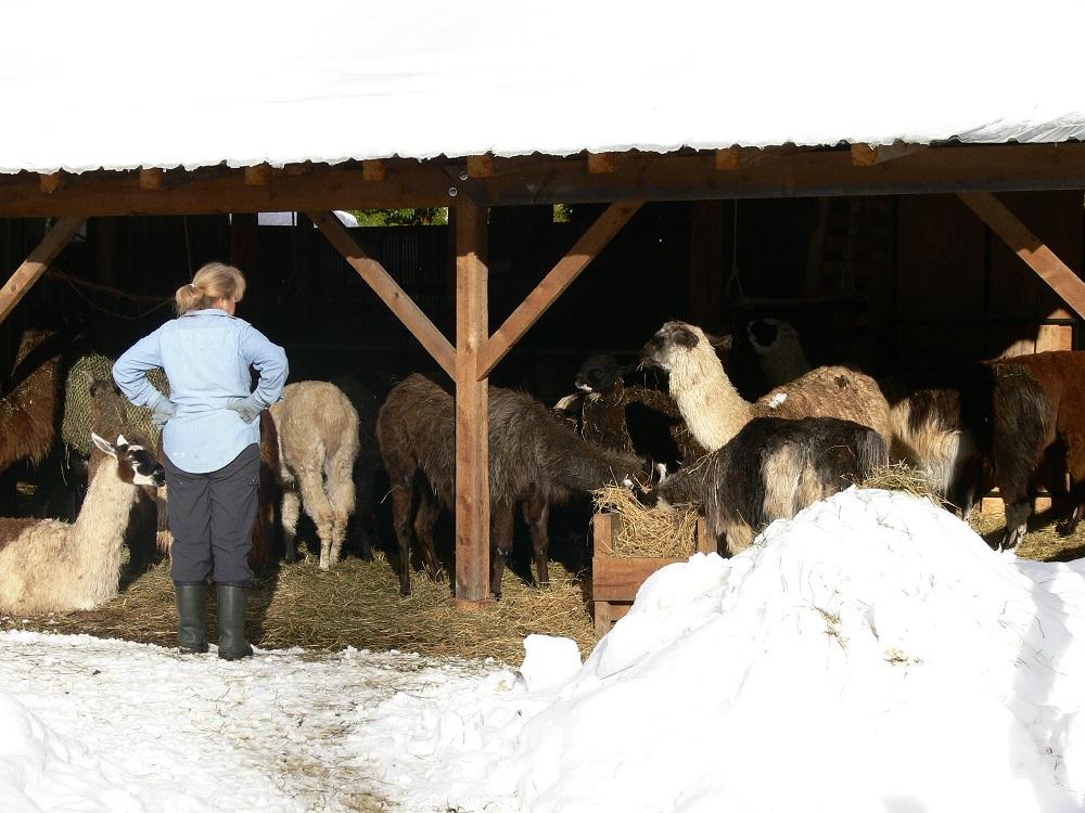 llama barn, winter
