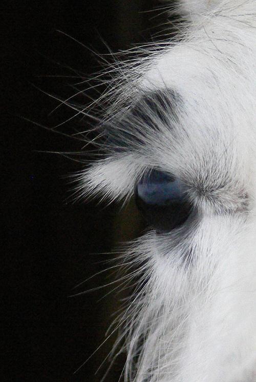 llama eyes, eyelashes