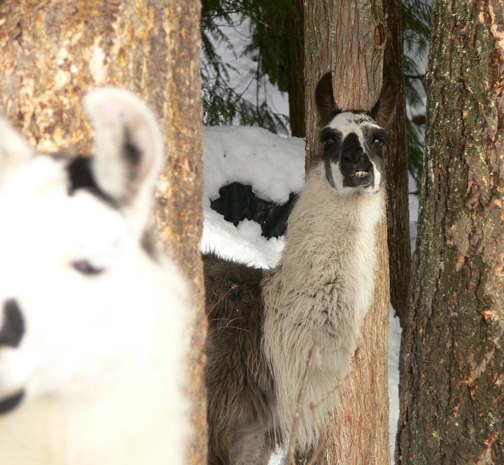 scary llama, fighting llama