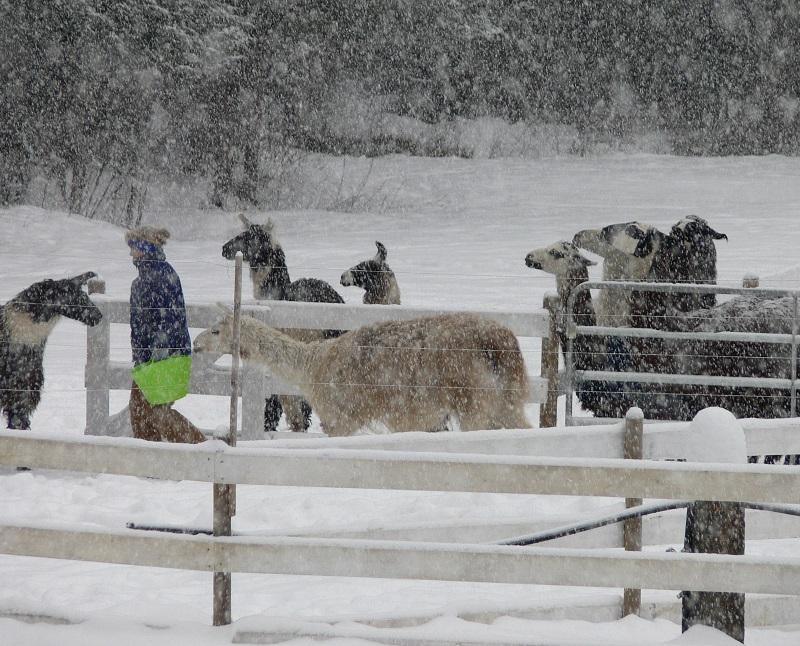 feeding llamas in winter