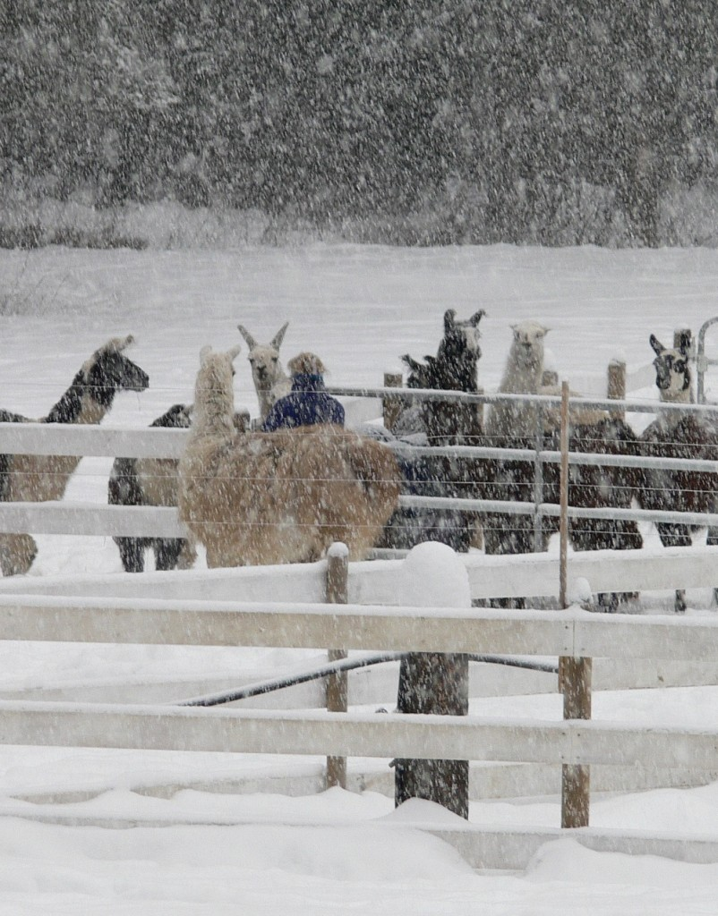 heavy snow, llamas, feeding