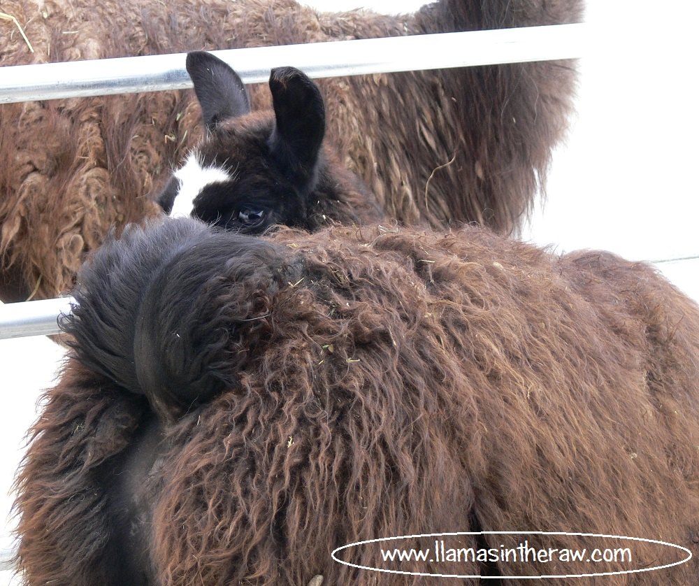 subservient young male llama