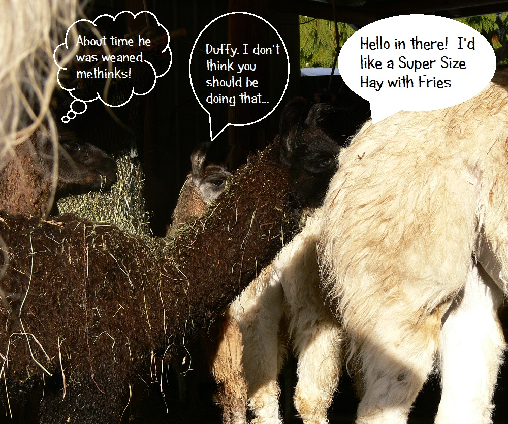 weaning llama, llama humour