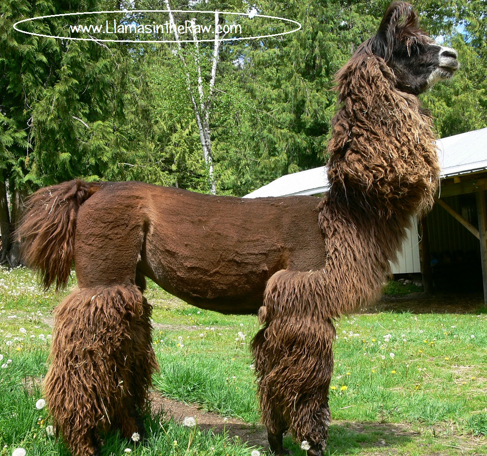 fiber llama after shearing