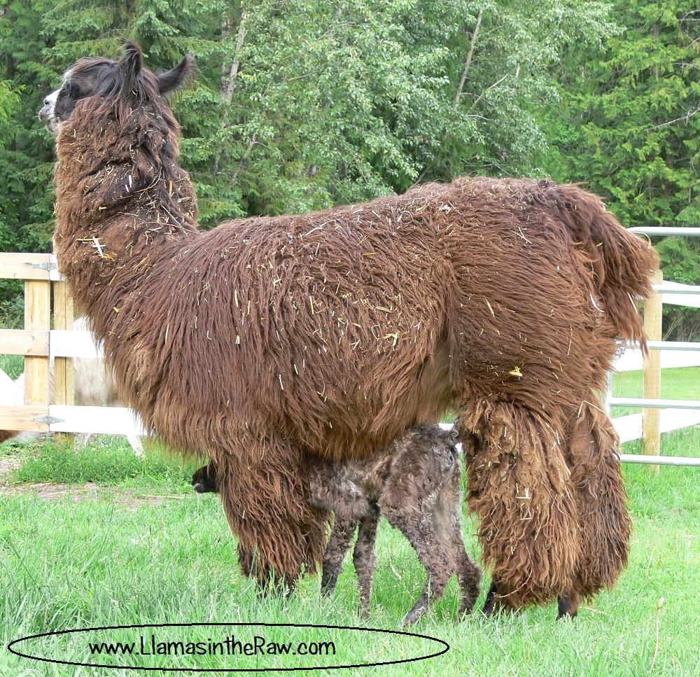 fiber llama before shearing, baby llama