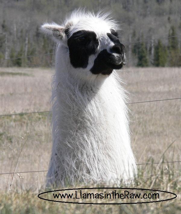 ping llama frost bitten ears