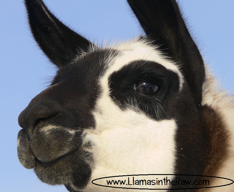 classic llama smooth ears
