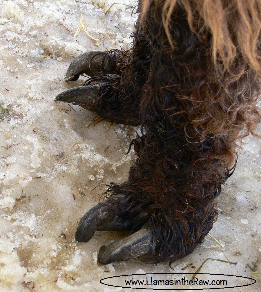 cutting toenails on a llama