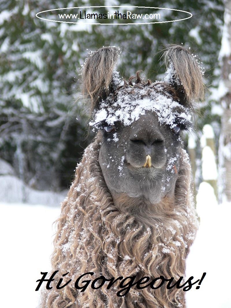 argentine llama hairy ears