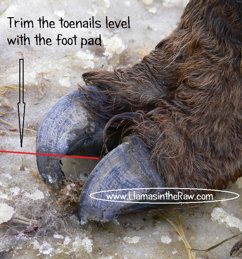 how to trim llama toenails