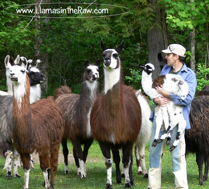 cria, baby llama being carried