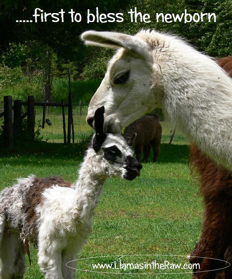 newborn llama blessing