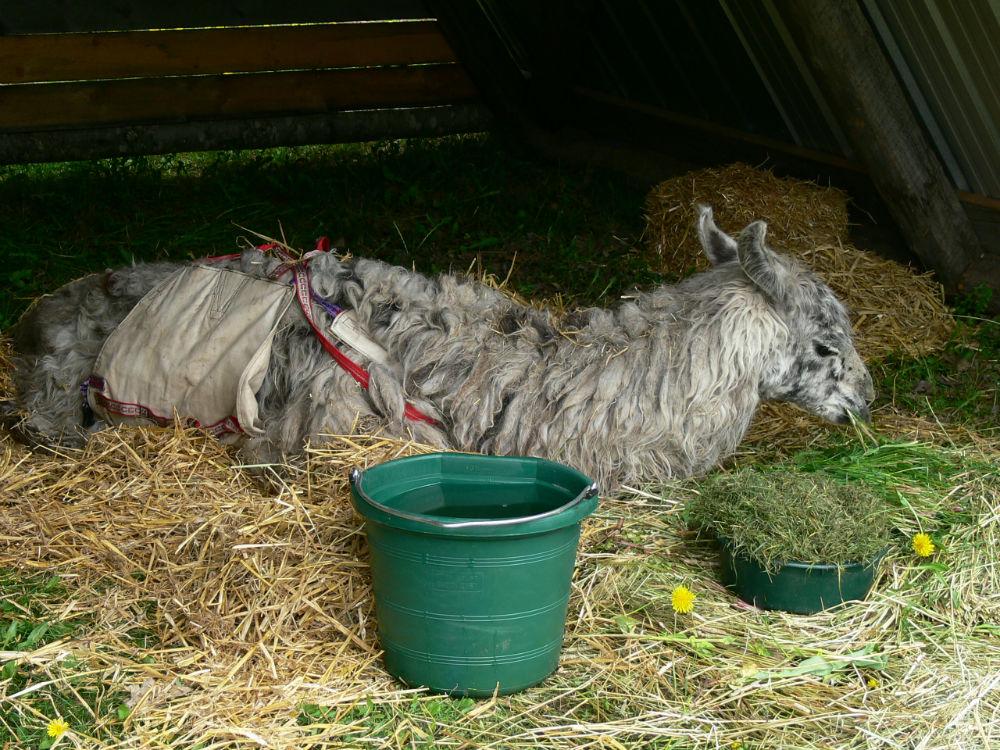 caring for sick llamas
