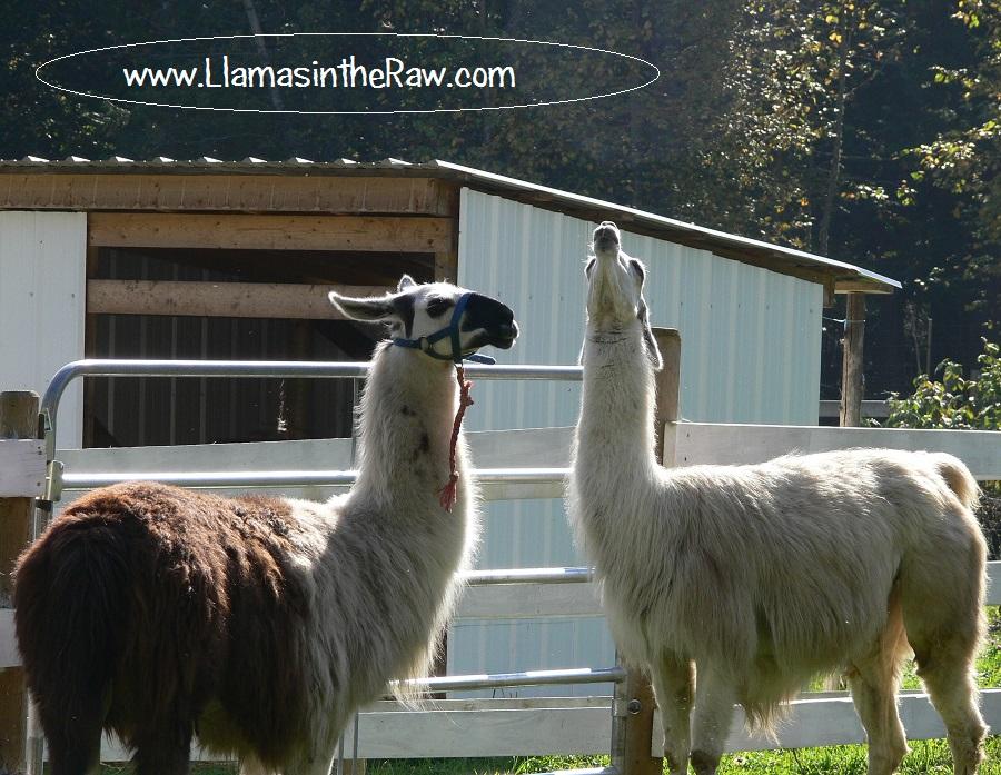 rehoming llama, llama rehab, introducing new llama to the herd