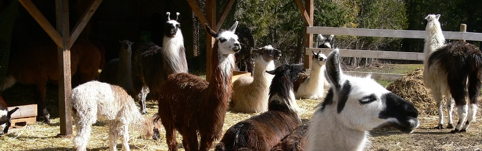 llamas enjoying peace at the sanctuary