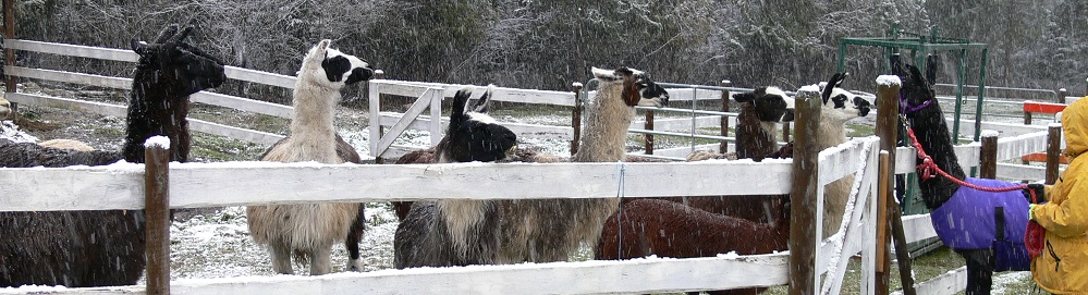 Georgie llama meets the herd at The Llama Sanctuary