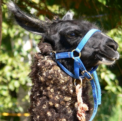 llama covered in burdock
