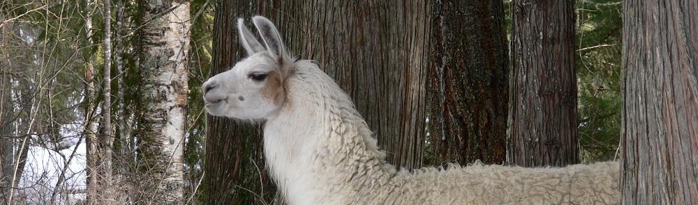 llamas being greeted at The Llama Sanctuary