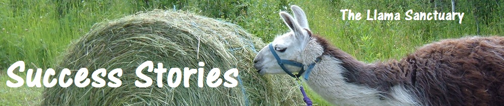stories of successful llama rescues and placements